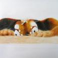 Lesserpanda